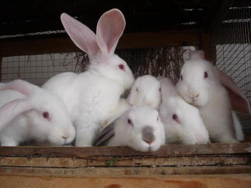 兔子如何辨认日本大耳白兔