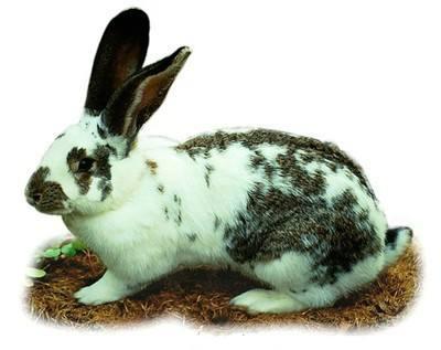 英国斑点兔吃什么 英国斑点兔吃啥