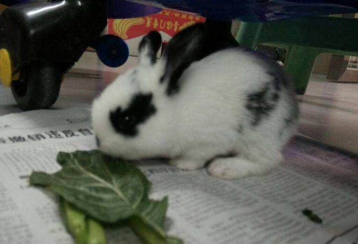 英国斑点兔能长多大 英国斑点兔能长多重