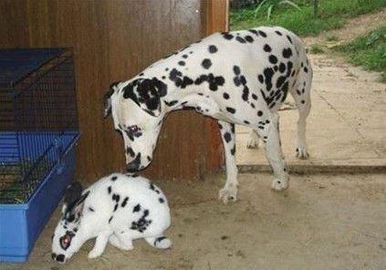 英国斑点兔饲养方法 英国斑点兔好养吗