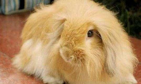 缎毛安哥拉兔能家养吗