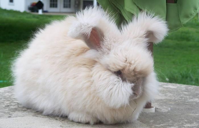 法国安哥拉兔多少钱一只 法国安哥拉兔多少钱