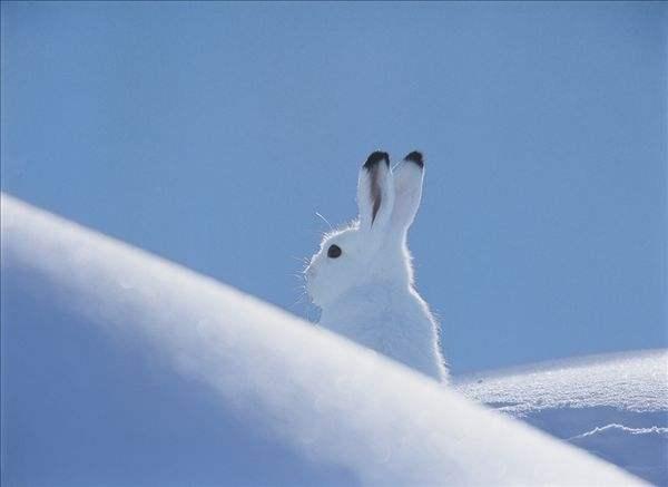 北极兔价格 北极兔价格多少