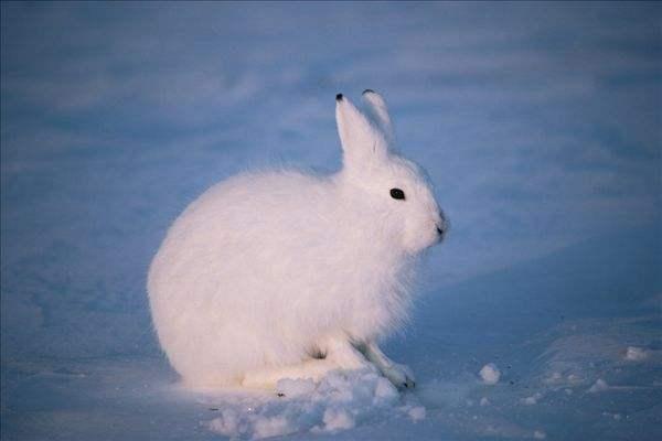 北极兔多少钱一只