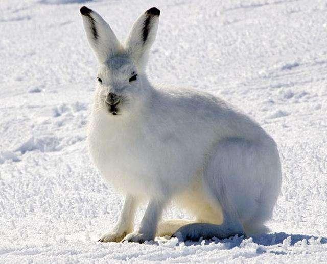 北极兔吃什么 北极兔吃什么为食