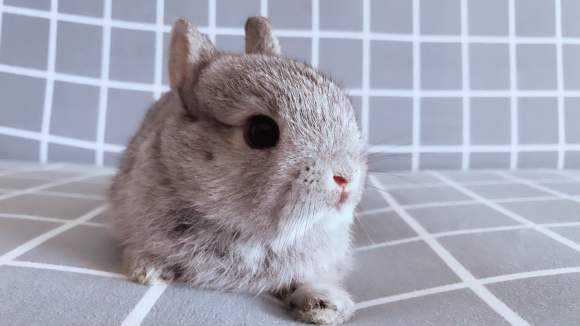 标准金吉拉兔喝什么水