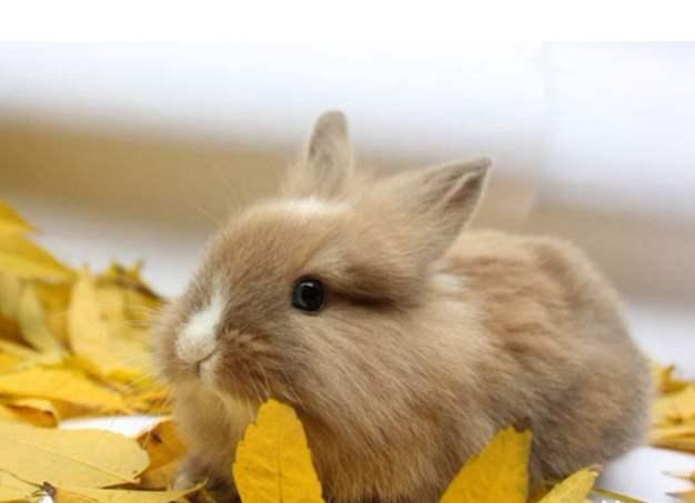 狮子兔的寿命 狮子兔的寿命多少年