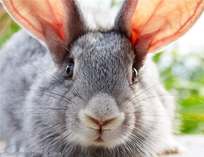 金吉拉侏儒兔怎么养 金吉拉宠物兔怎么养