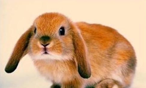公羊兔耐寒吗 公羊兔怕冷吗