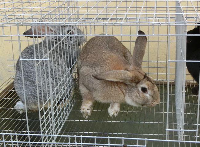青紫蓝兔属于公羊兔吗