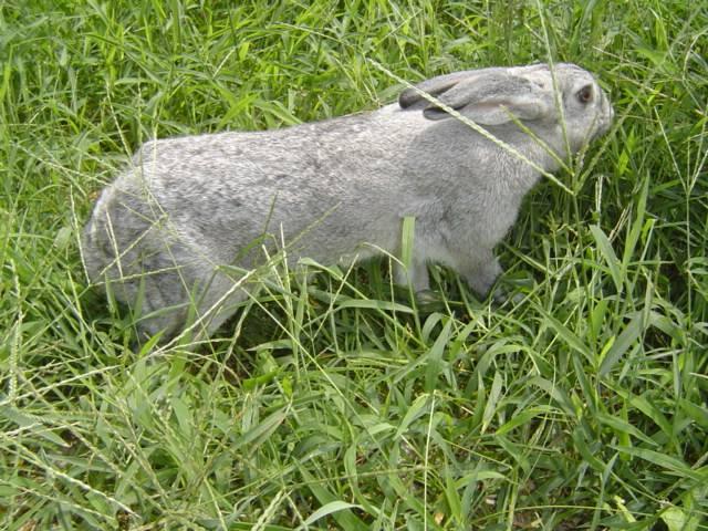 比利时兔和青紫蓝兔区别 比利时兔和青紫蓝兔的区别