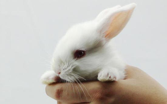 西施兔跟熊猫兔的区别