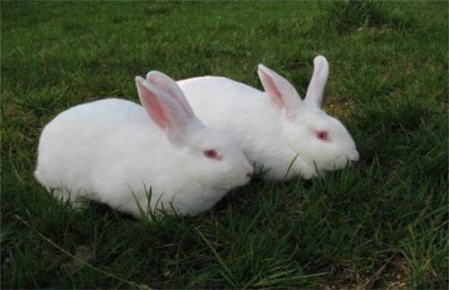 哈白兔和新西兰兔区别