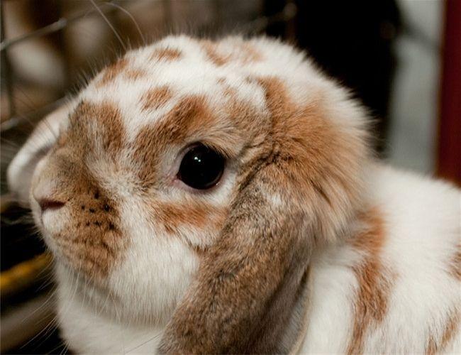 宾尼垂耳兔种类