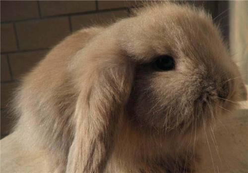 宾尼垂耳兔怎么养