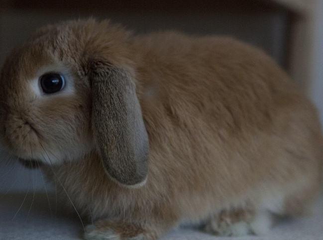 宾尼垂耳兔要磨牙吗
