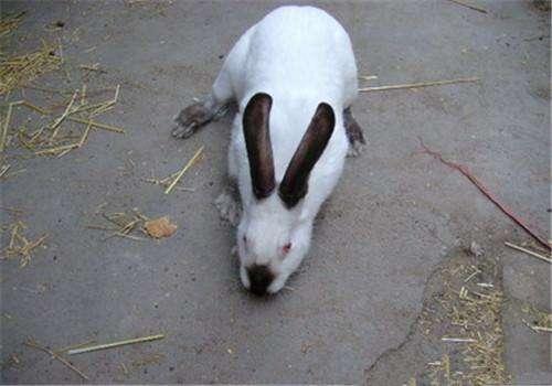 伊拉兔和加利福尼亚兔的区别 伊拉兔与加利福尼亚兔哪个好