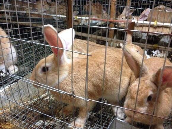 一只福建黄兔多少钱 福建黄兔一只多少钱