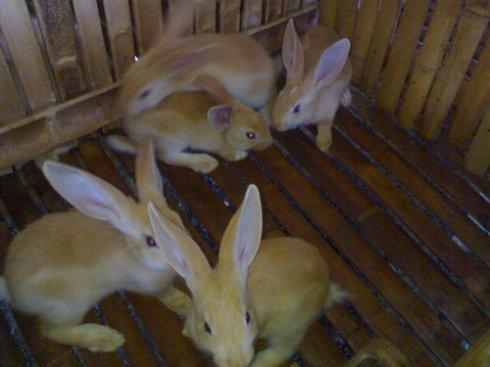 福建黄兔怎么分辨公母