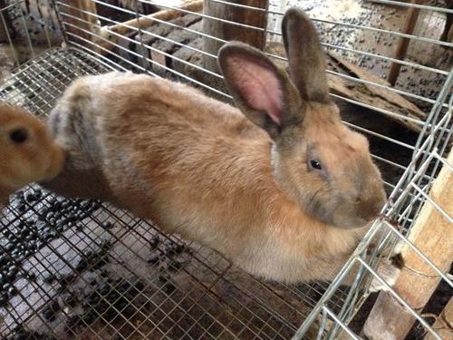 福建黄兔的寿命 福建黄兔的寿命多长