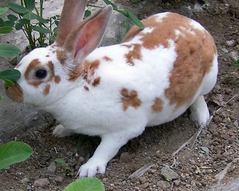 福建黄兔喂养 福建黄兔饲养