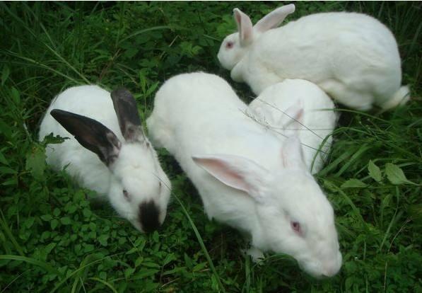 伊拉兔多少钱 伊拉兔多少钱一只