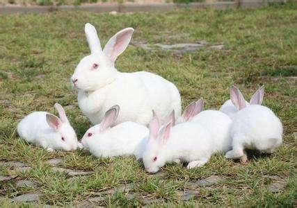 伊拉肉兔品种 伊拉兔品种