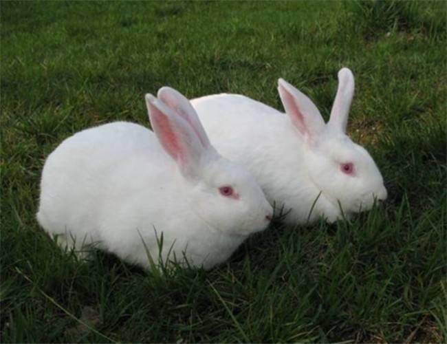 伊拉兔好养吗 伊拉兔好不好养