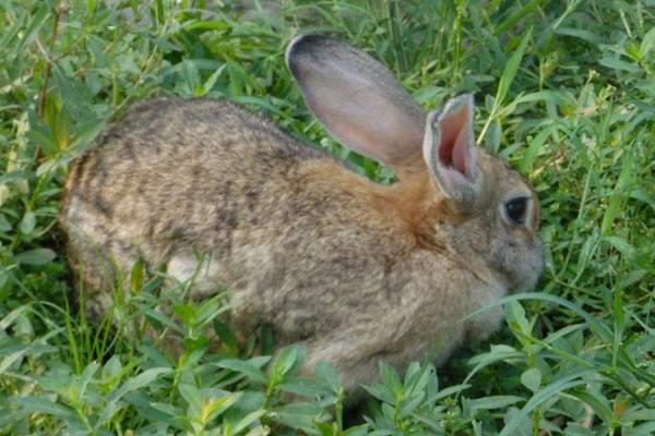 灰尾兔的寿命 灰尾兔的寿命多长