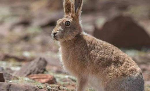 灰尾兔饲养方法 灰尾兔的饲养方法
