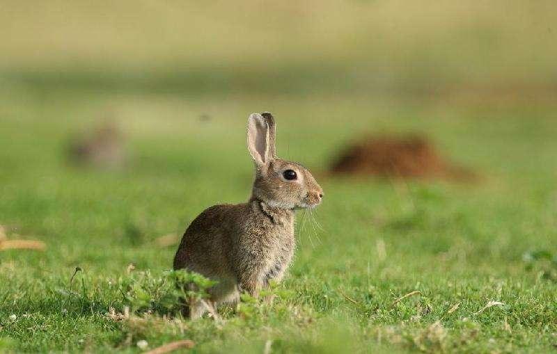 比利时兔价格 比利时兔价格多少