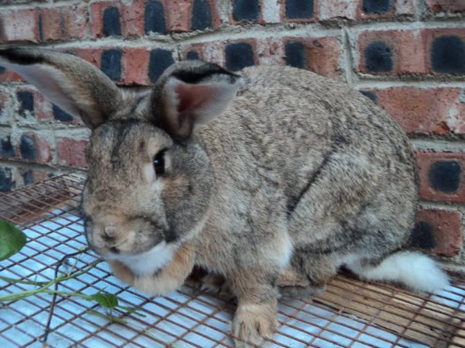 比利时兔多少钱一只 比利时兔多少钱