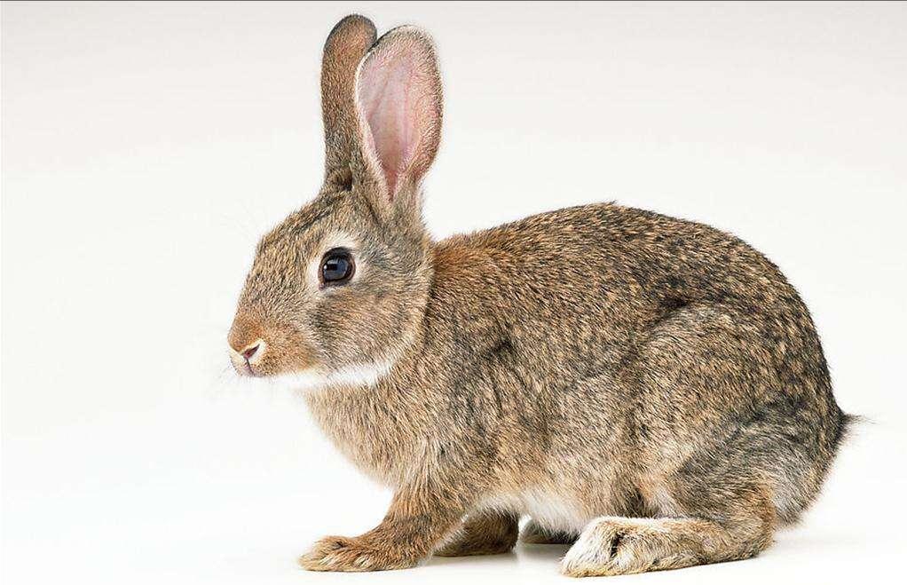 比利时兔饲养 比利时兔好养吗