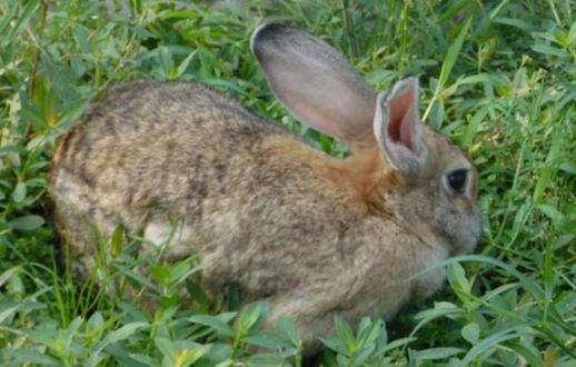 比利时兔是杂交兔吗