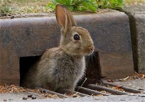 灰栗兔能长多大