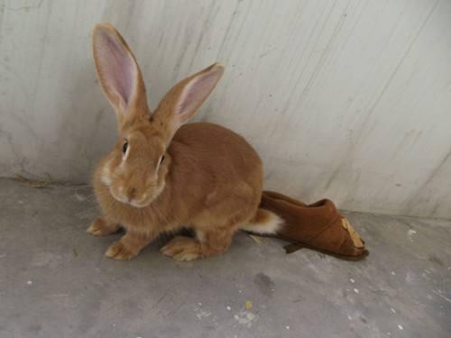 豫丰黄兔吃什么 豫丰黄兔吃什么为食