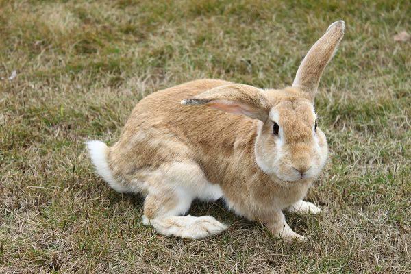 豫丰黄兔特点 豫丰黄兔的特点