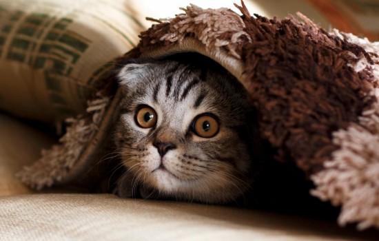 正常折耳猫的尾巴是柔软的吗