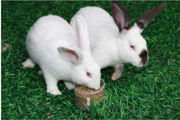 獭兔吃什么食物 獭兔爱吃什么