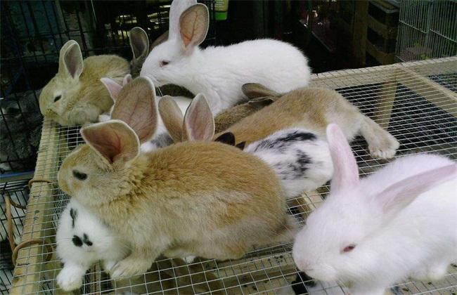 獭兔多少钱 獭兔多少钱一只