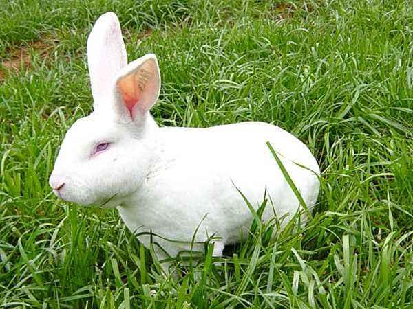 獭兔饲料 獭兔的饲料
