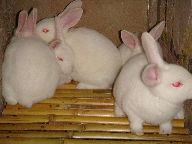 新西兰兔吃什么为主