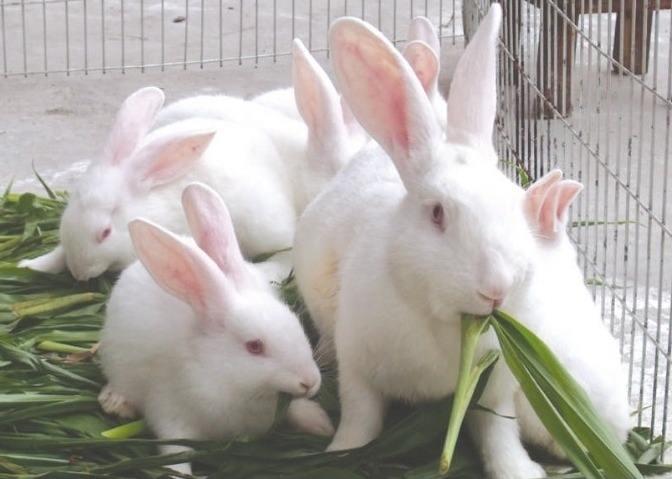 伊拉兔跟新西兰兔怎么区分