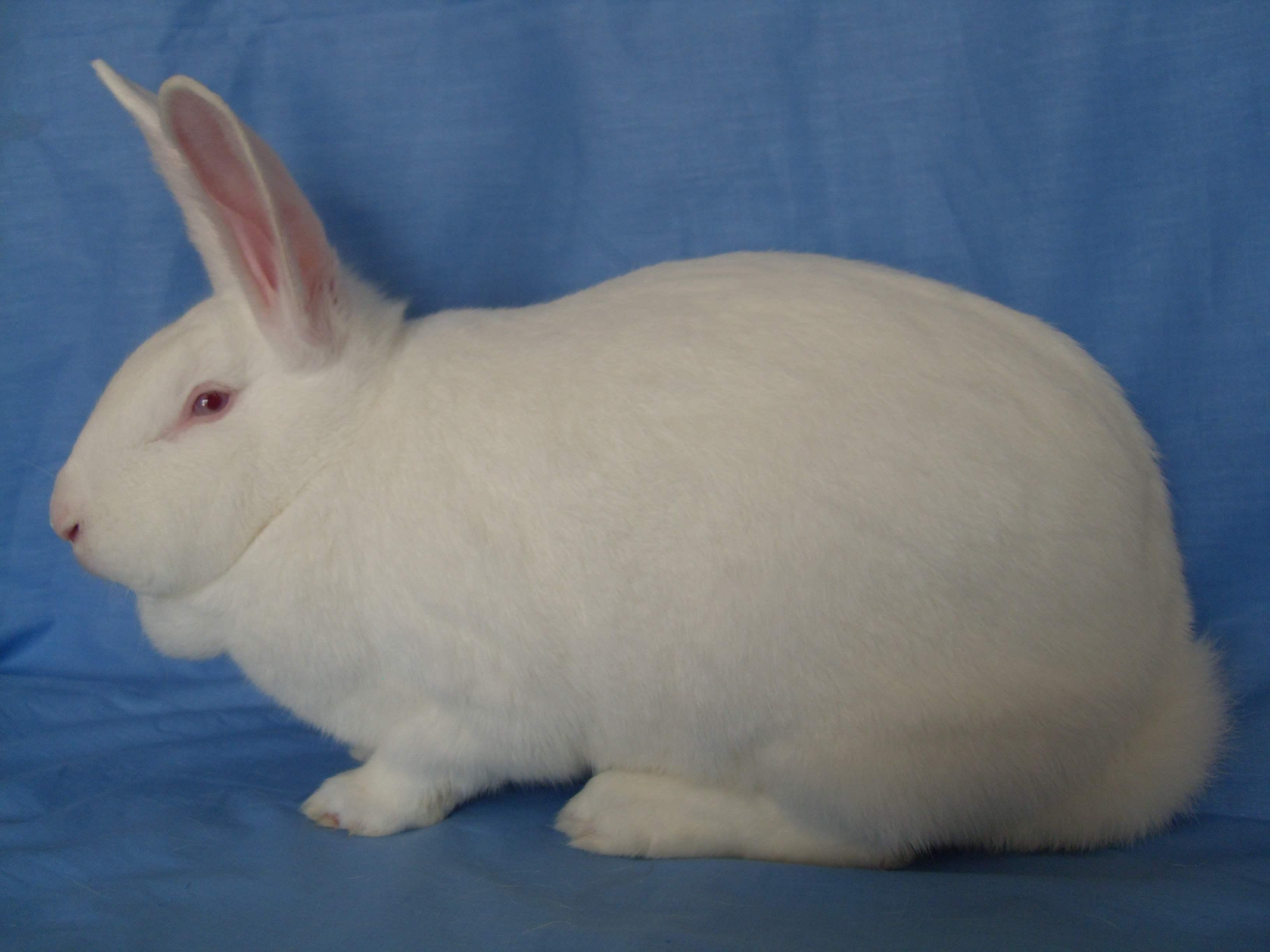 新西兰兔几个月可繁殖