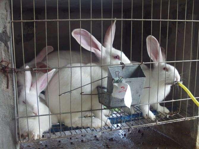 新西兰兔繁殖特点 新西兰兔的繁殖特点
