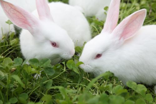 新西兰兔性情 新西兰兔的性格