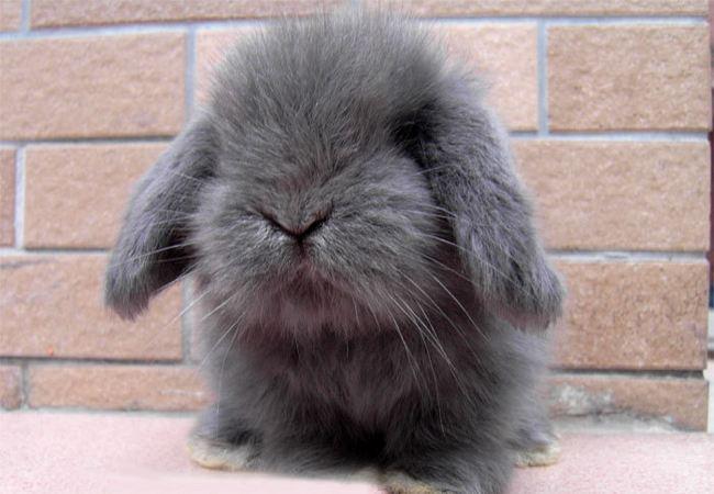 垂耳兔和侏儒兔哪个长大好看