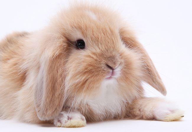 垂耳兔和侏儒兔哪个比较聪明 垂耳兔和侏儒兔哪个更聪明