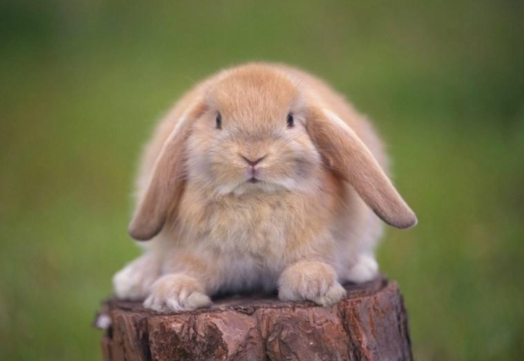 侏儒兔和垂耳兔可以一起养吗 垂耳兔和侏儒兔能一起养么
