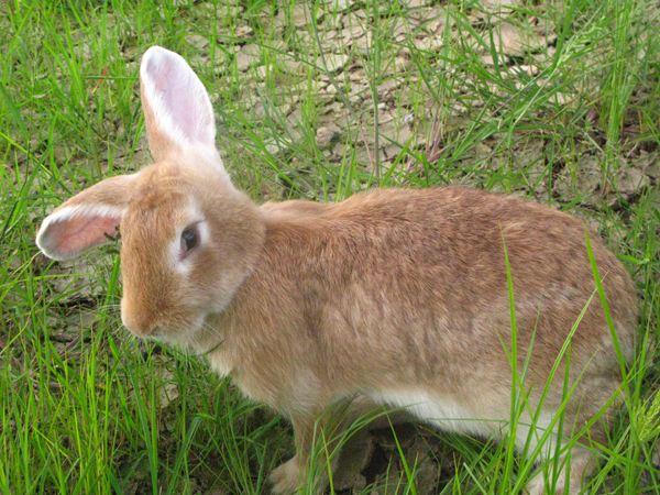 塞北兔和公羊兔那个大 塞北兔没公羊兔大吗